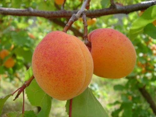 08-apricots