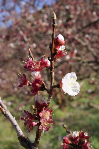 51-Tierhoek-Organic-Peach-Blossom