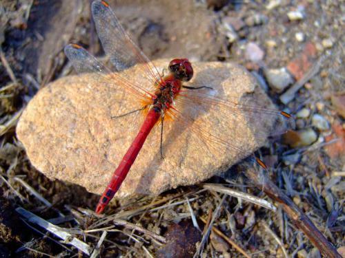 56-Dragonfly