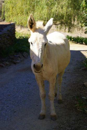 Violet-the-donkey