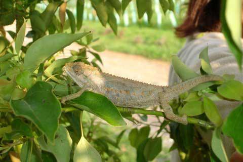 01-Chameleon