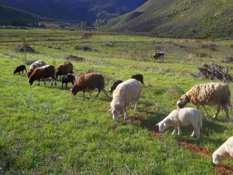 29-Sheep-at-Tierhoek-Farm