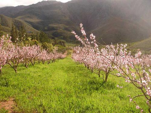 Spring-in-Apricots